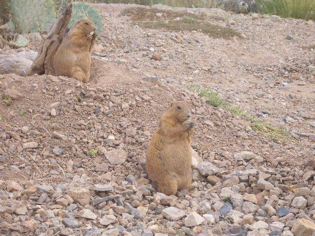Prairie Dogs II.jpg